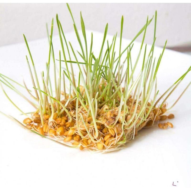 PŠENICE - semínka na klíčení 50g