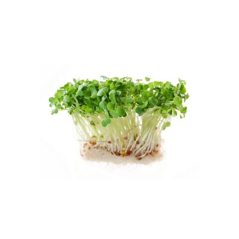 ŘEDKVIČKA - semínka na klíčení 20g
