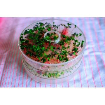ŘEDKVIČKA RED PURPLE - semínka na klíčení 10g