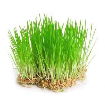 MLADÝ JEČMEN - semínka na klíčení 30g