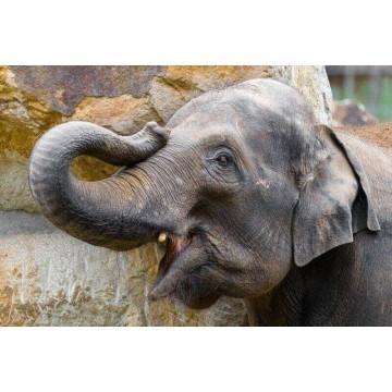 Adoptuj slona