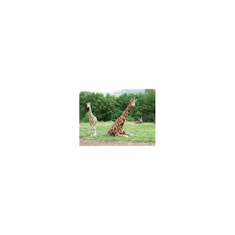Adoptuj žirafu