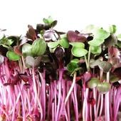 ŘEDKVIČKA RED PURPLE - semena na klíčky 10g  Klíčky ředkvičky RED PURPLE jsou novou odrůdou ředkviček, který se vyznačují vínově červenou barvou listů a vysokým obsahem vitamínu C (2 x více než o kořenové ředkvičky ). Jsou zdrojem i dalších prospěšných látek jako jsou E, B nebo minerální látky jako jsou draslík, železo, měď a vápník. Klíčky mají výraznější chuť, která je ostřejší (kořenitě – ořechová). Nejen, že dobře chutnají, ale také dobře vypadají, třeba na talíři nebo jako příloha na pečivo, saláty.  #vyklictcz #klicky #microgreen #microgreens #domacifarma #farma #vyklicenocz #kliceni #pestovani #gastro #vegan #flowers #cervenezeli #zeli #cocka #seminka #seminkacocky #veganfood #zakladni #zakladnismes #jemnasmes #jemna #nepikantni #sklizeno #redkvicka #redpurple #bylinky #microbylinky